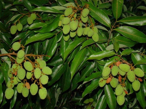 Image of lychee