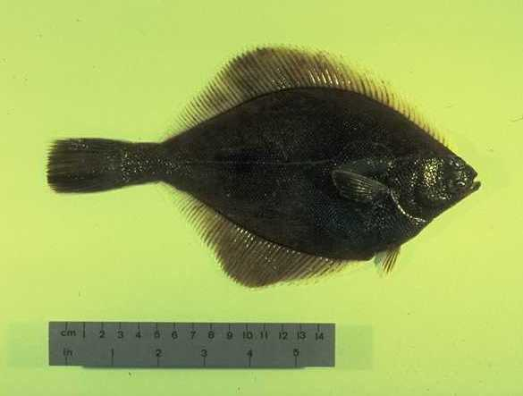 Image of Yellowfin sole