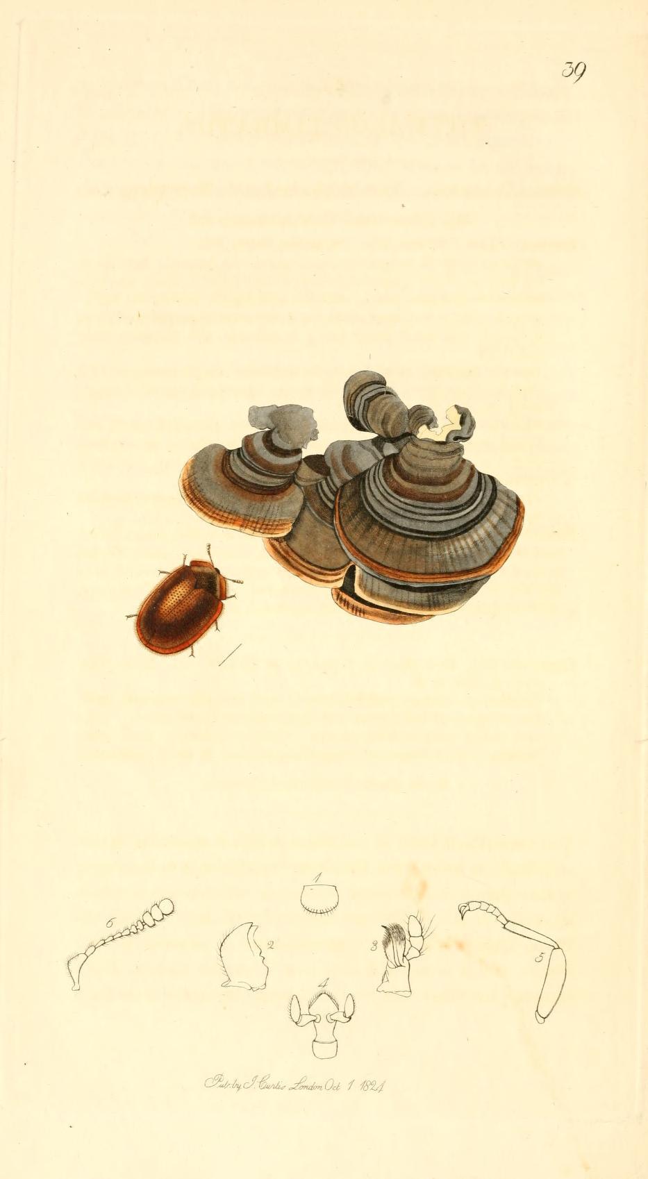 Image of <i>Thymalus limbatus</i> (Fabricius 1787) Fabricius 1787
