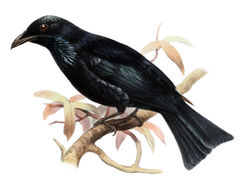 Image of Hair-crested Drongo