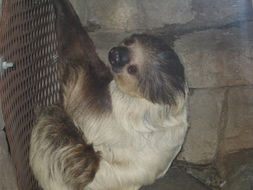 Image of two-toed sloths