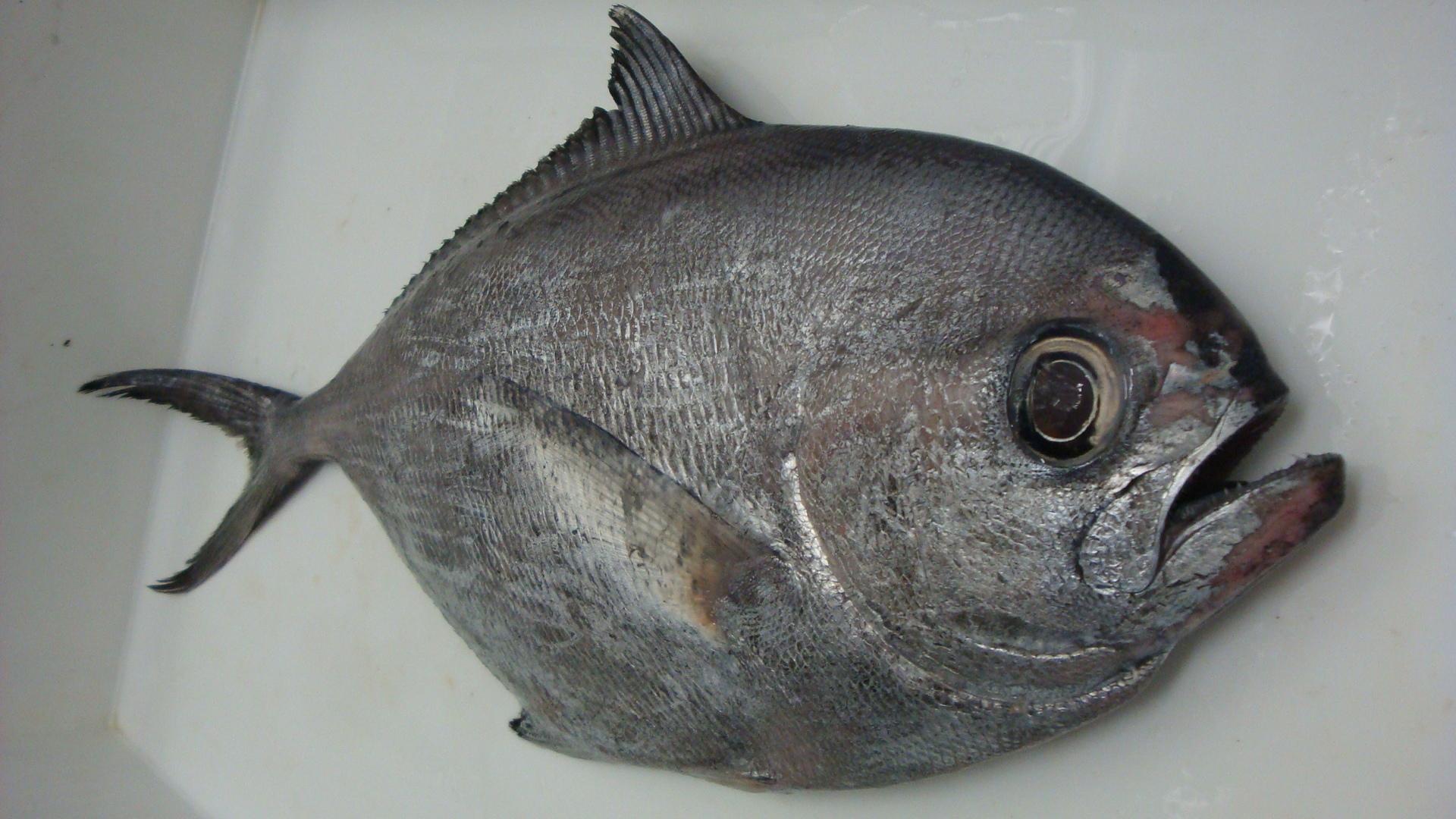 Image of Angel Fish
