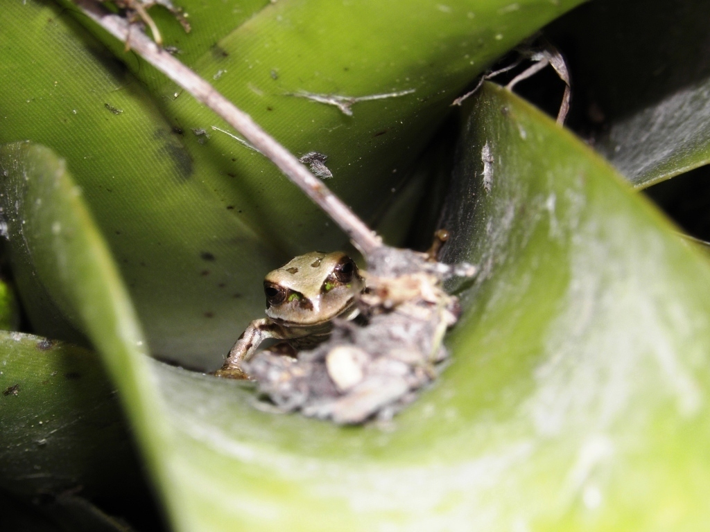 Image of Riobamba Marsupial Frog