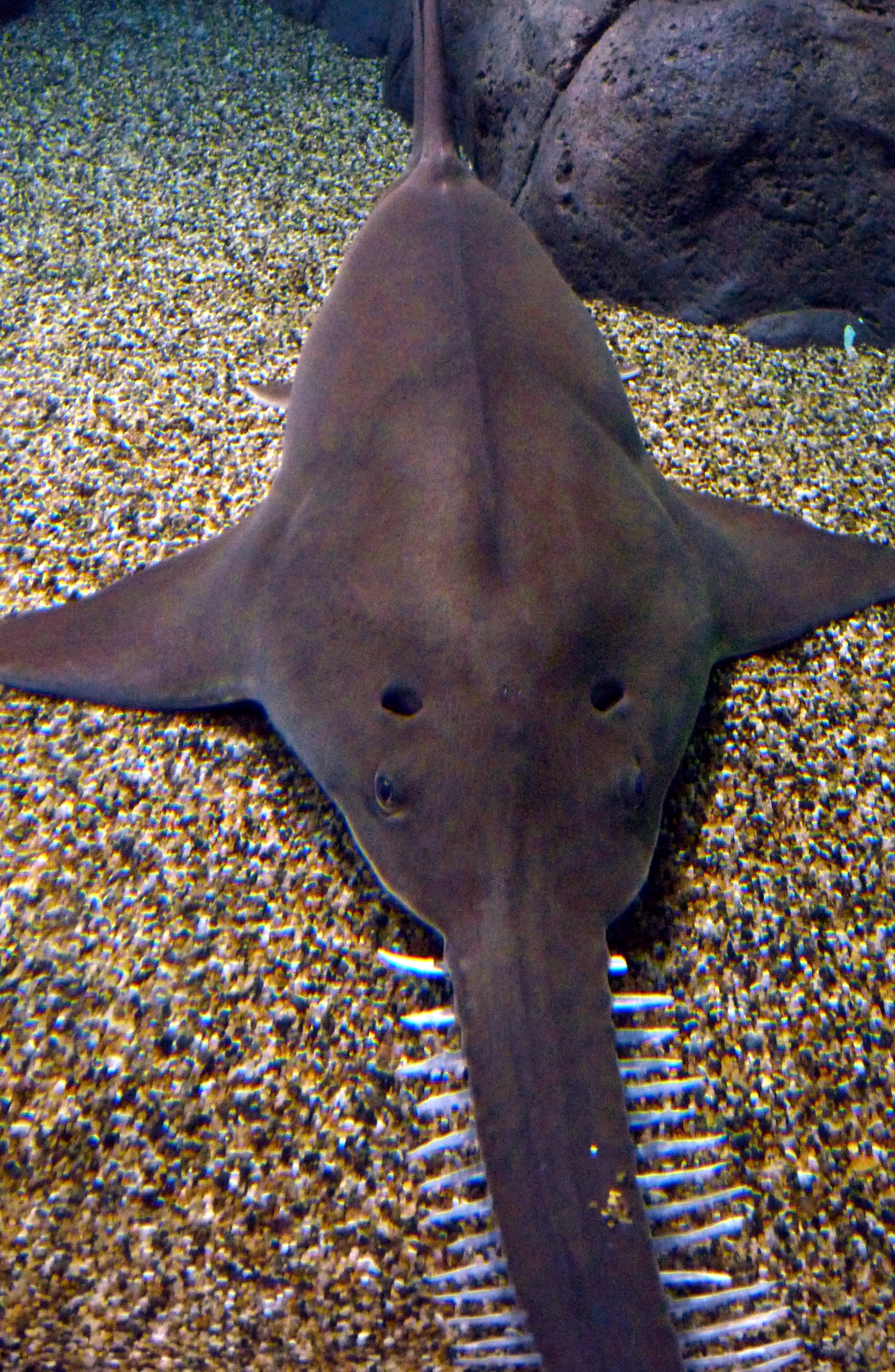 Image of largetooth sawfish