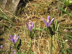 Image of California brodiaea