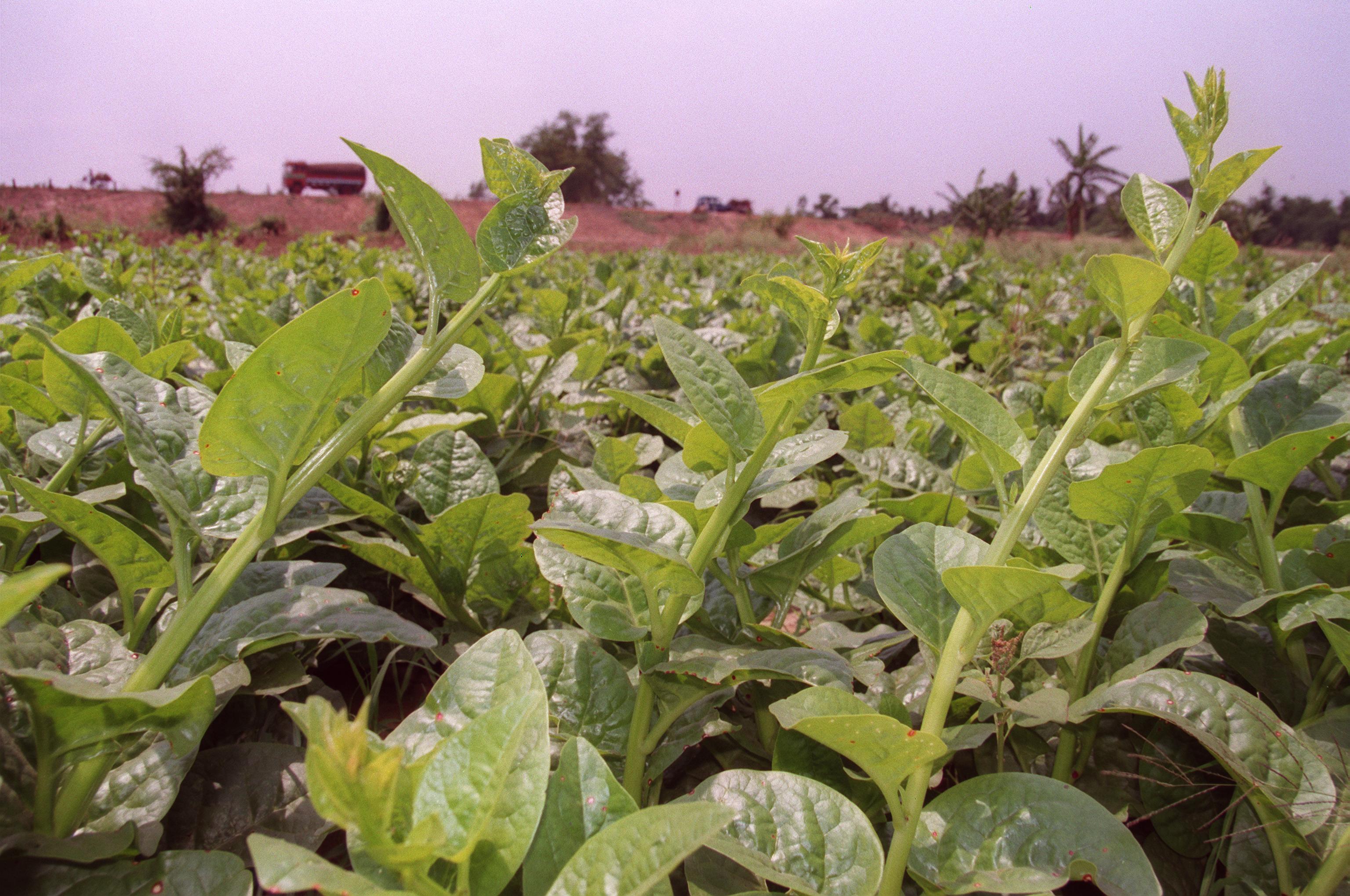 Image of Ceylon spinach