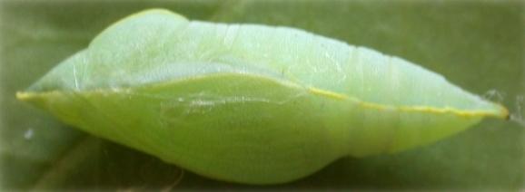Image of <i>Catopsilia pomona</i> (Fabricius 1775)