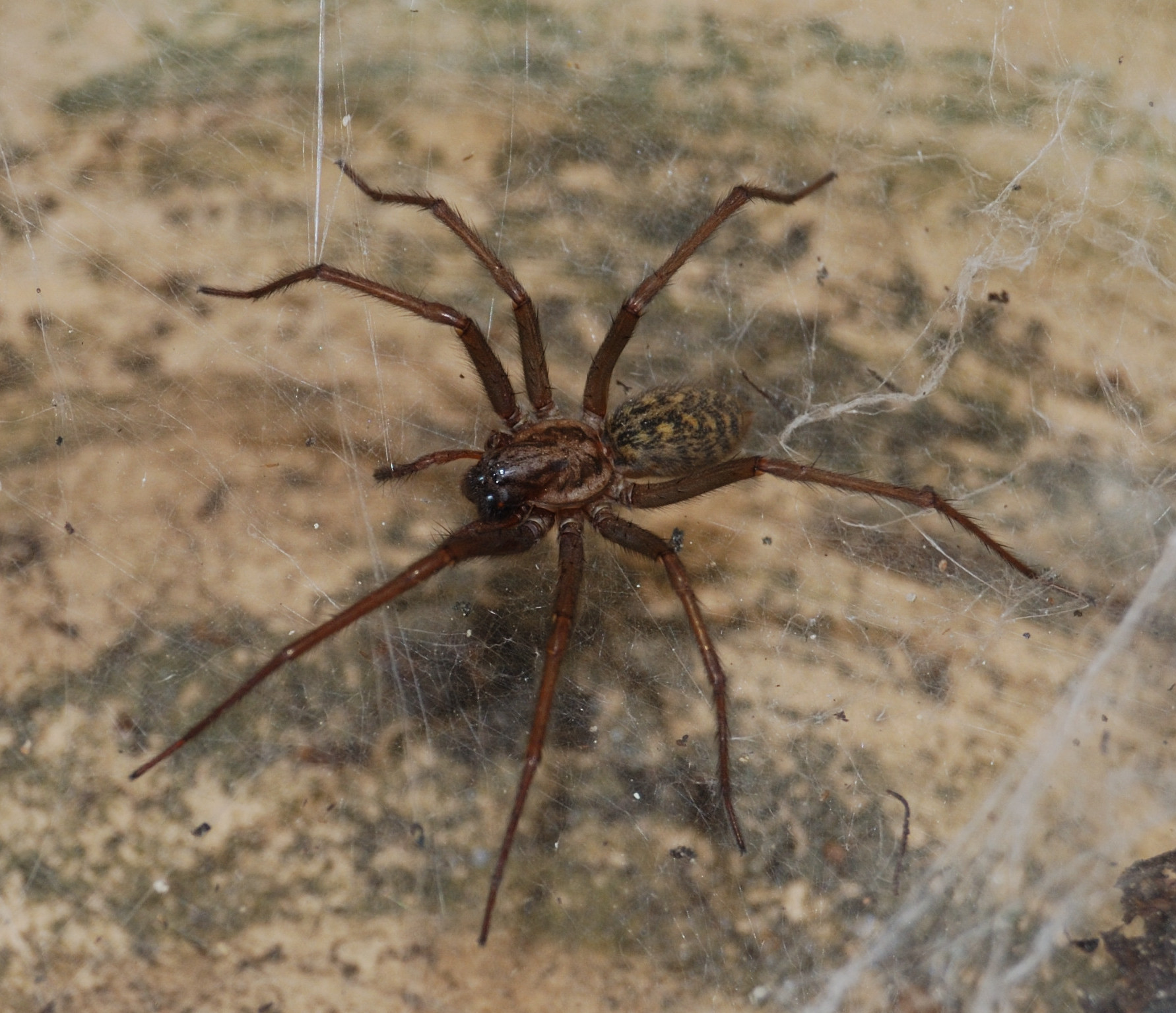 Image of Giant House Spider