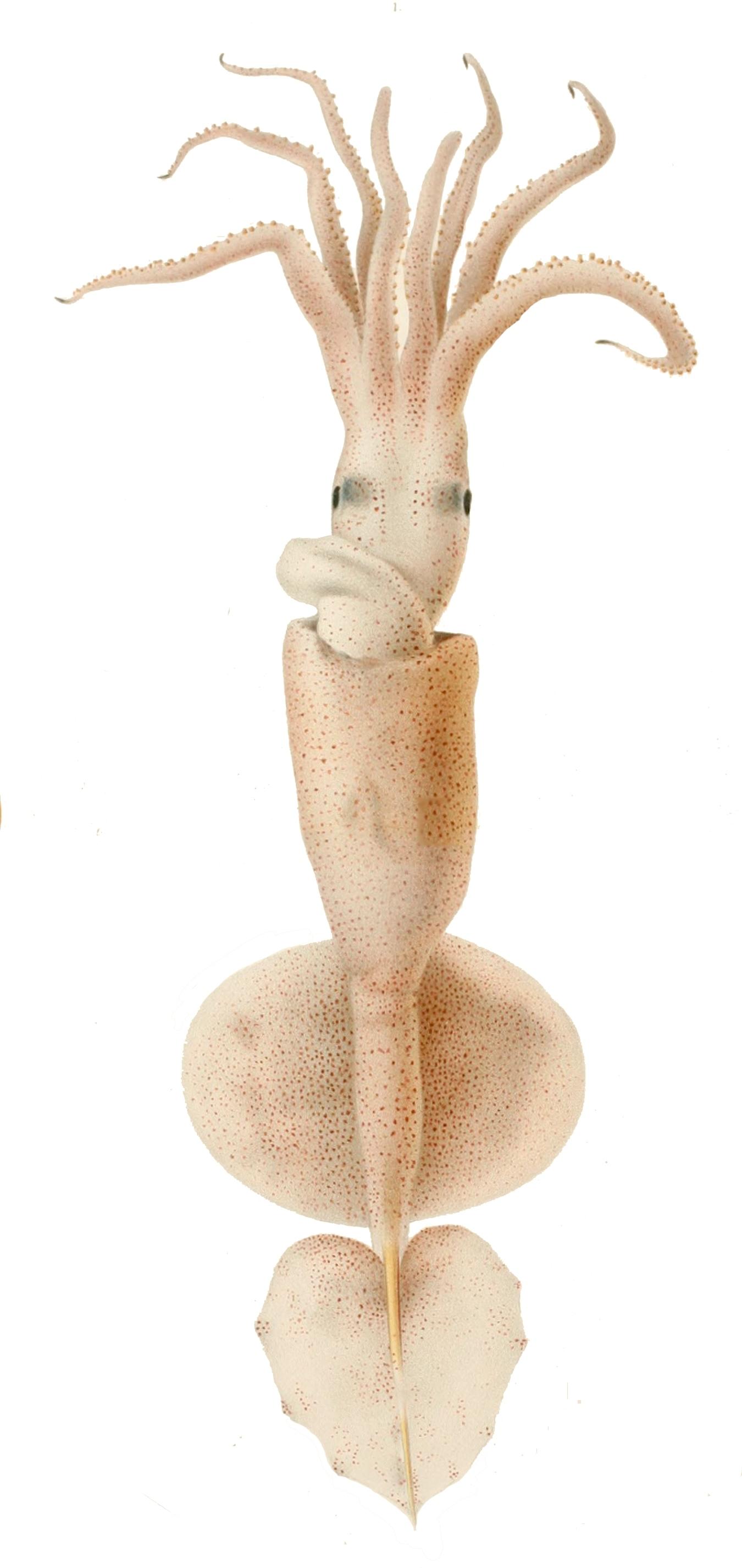 Image of <i>Grimalditeuthis bonplandii</i>
