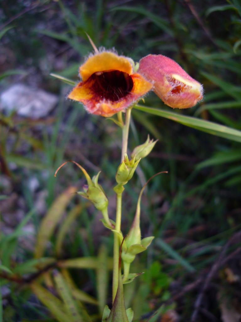 Image of Spanish Rusty Foxglove
