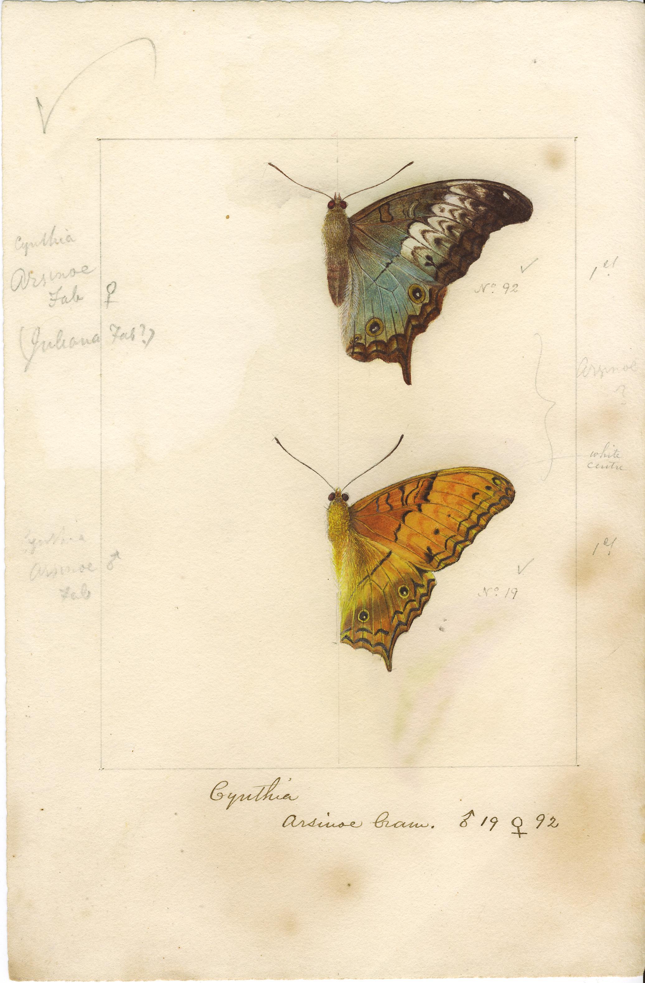 Image of <i>Vindula erota</i> Fabricius 1793