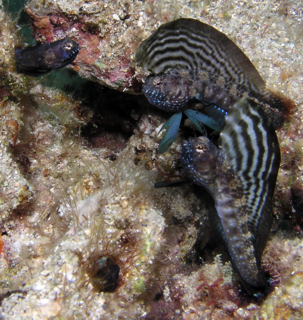 Image of Sailfin Blenny