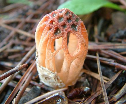 Image of Stinkhorn Fungus