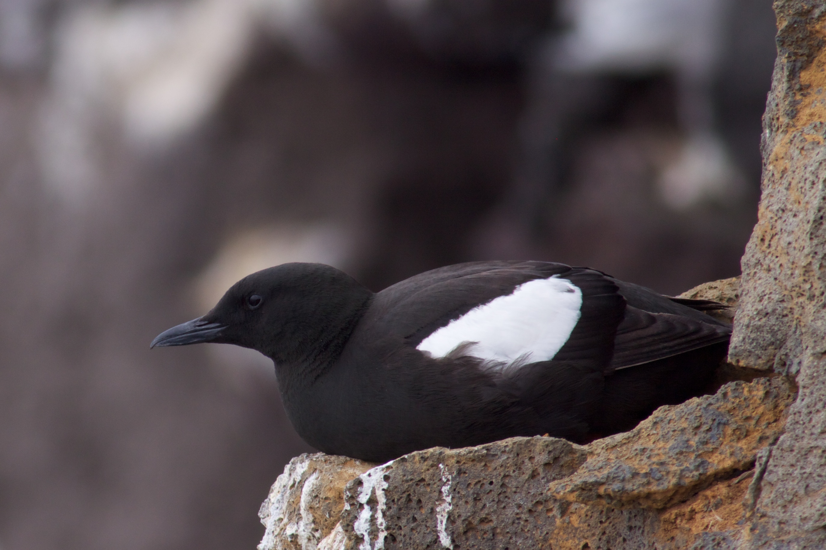 Image of Black guillemot