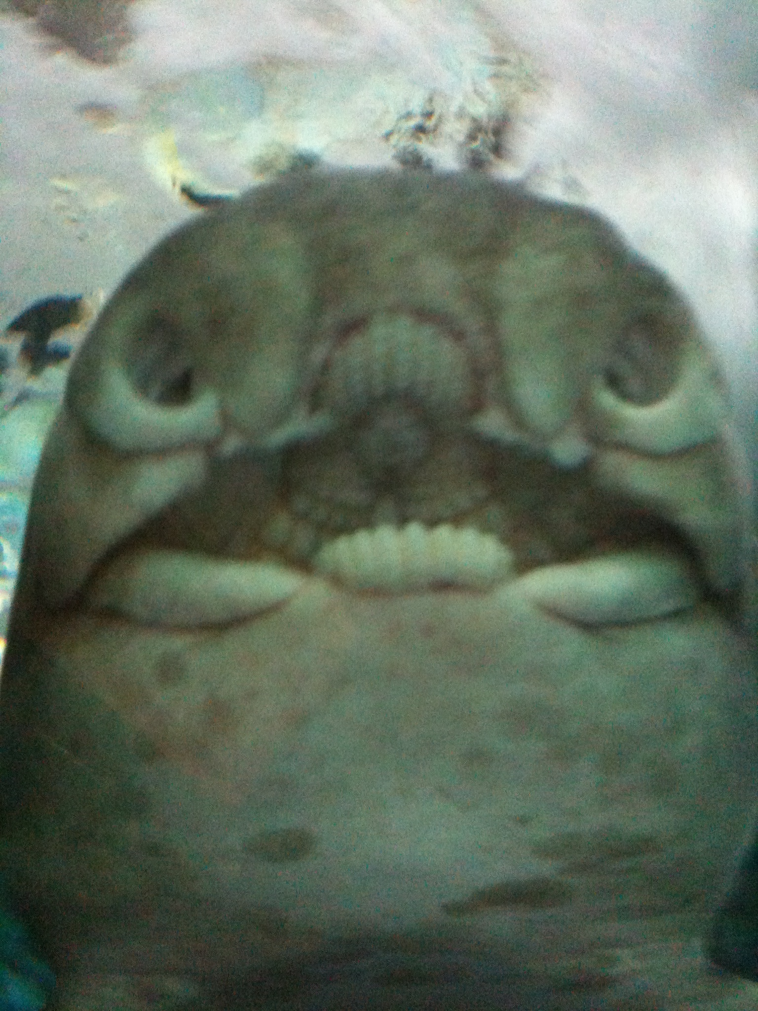 Image of Port Jackson Shark
