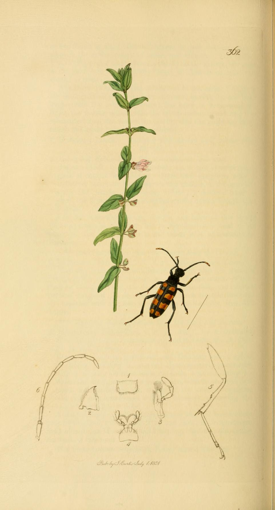 Image of <i>Leptura quadrifasciata</i> Linne 1758