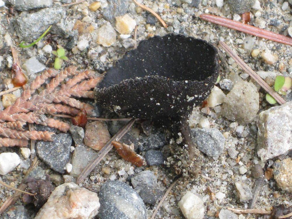 Image of <i>Plectania nannfeldtii</i>