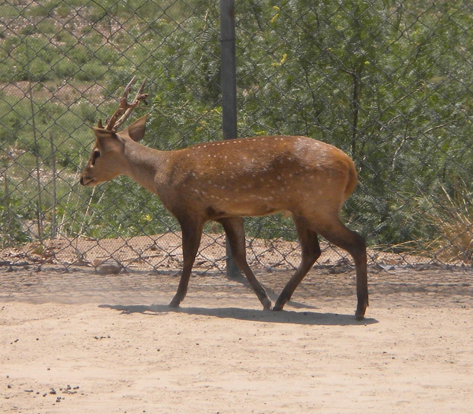 Image of Hog Deer