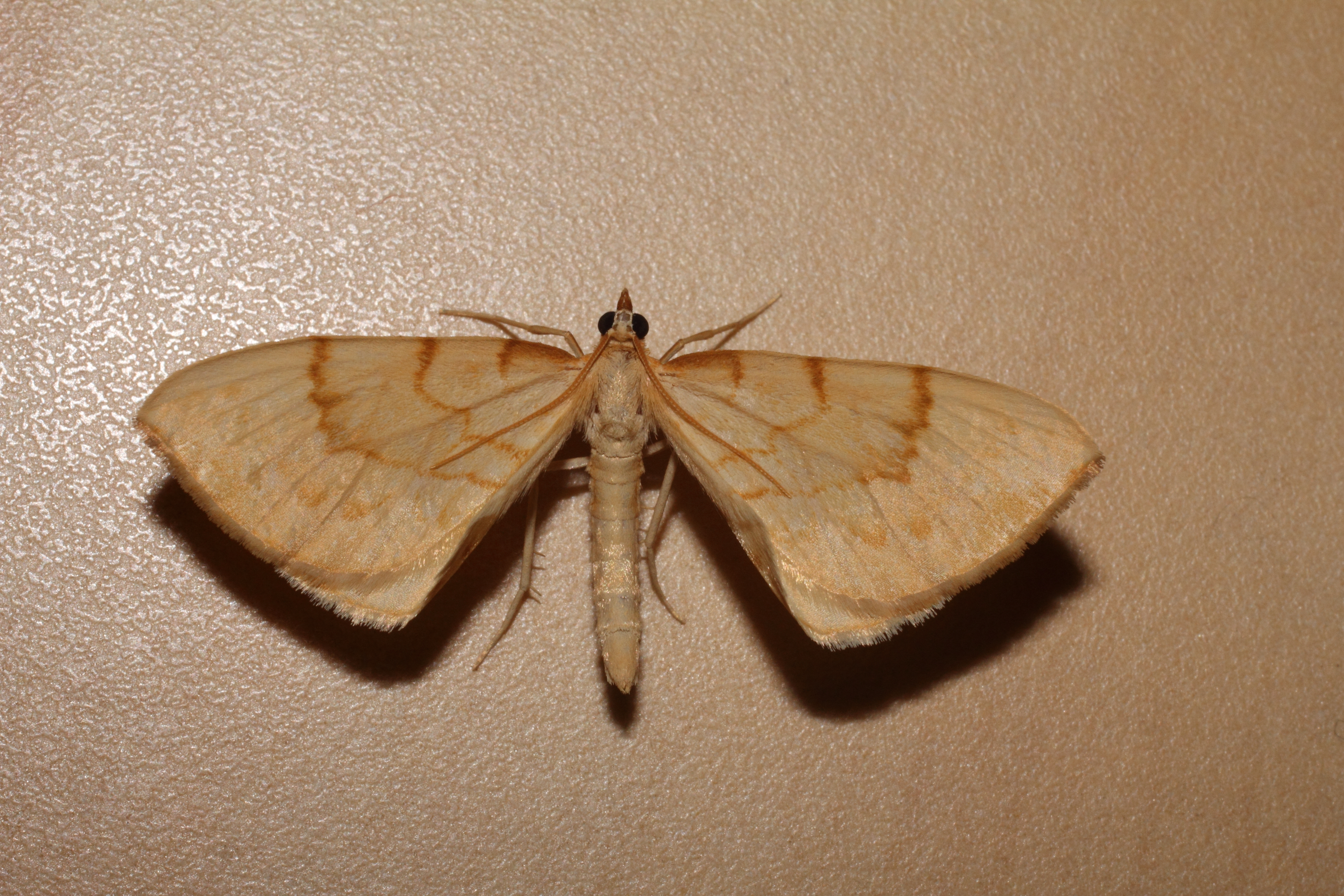 Image of Barred Straw