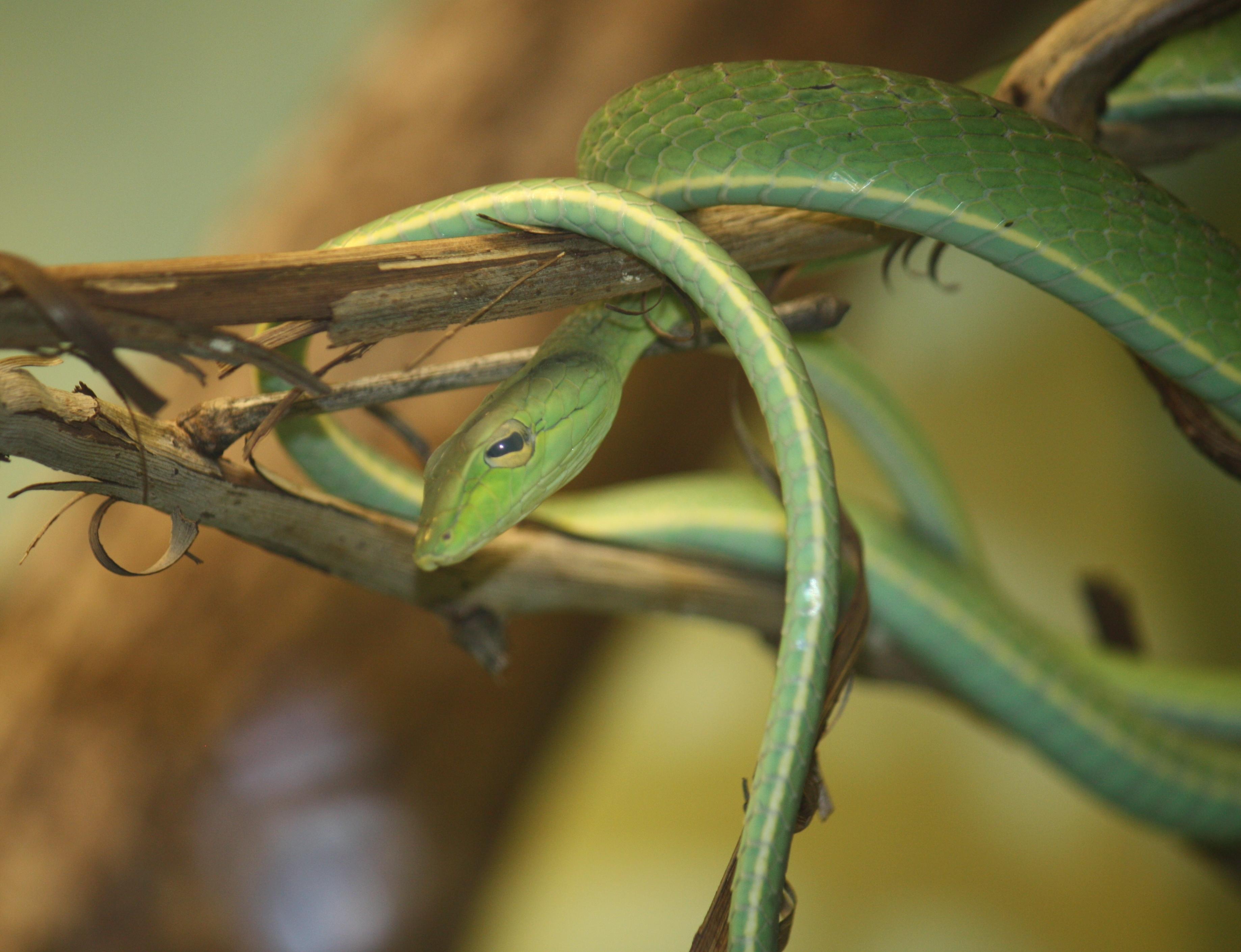 Image of Asian Vine Snake