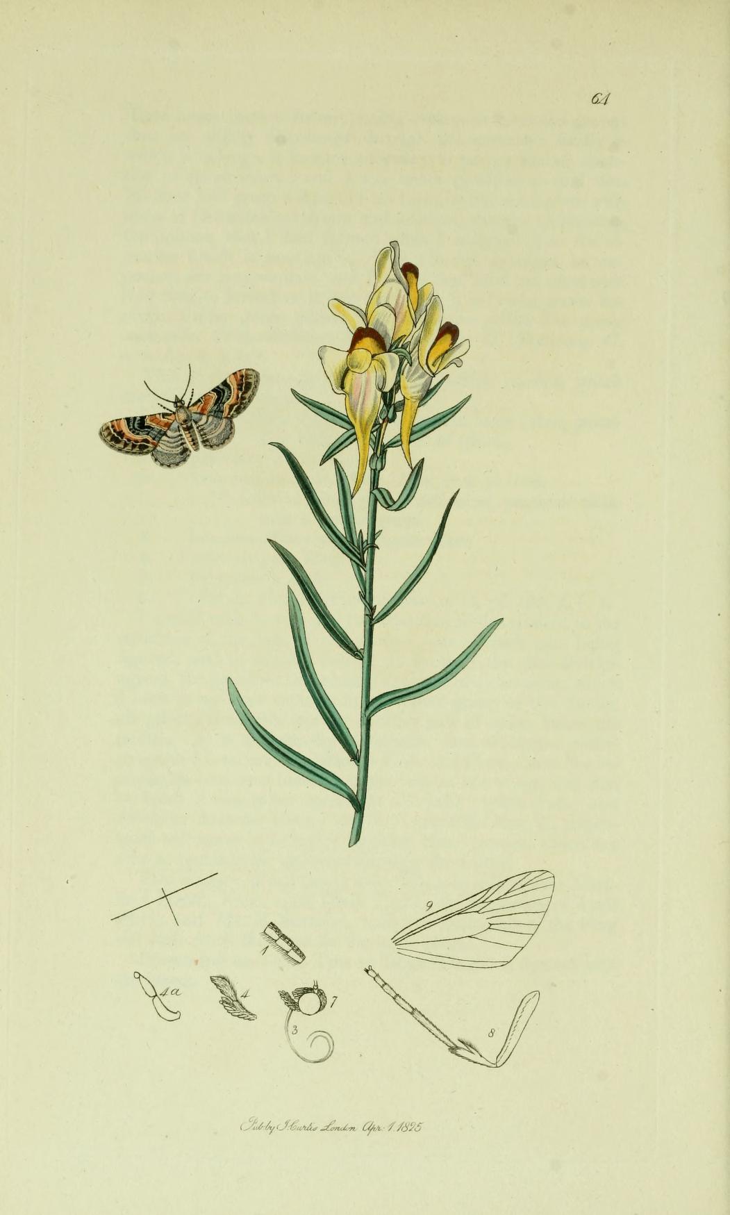 Image of <i>Eupithecia linariata</i> Schiffermüller 1775
