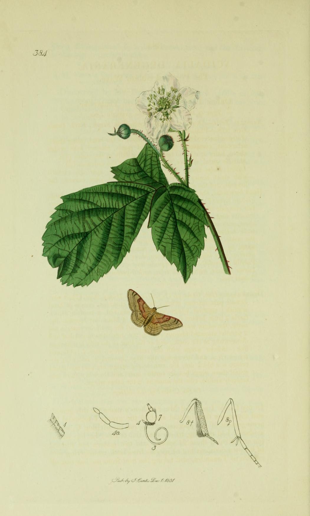 Image of <i>Idaea degeneraria</i> Hübner 1798