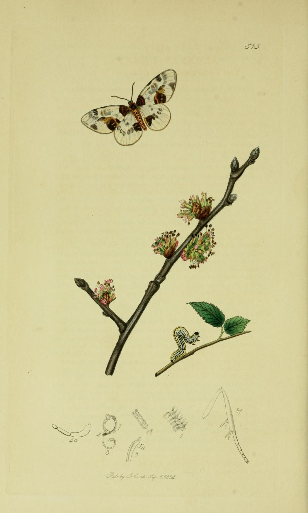 Image of <i>Abraxas sylvata</i> Scopoli 1763