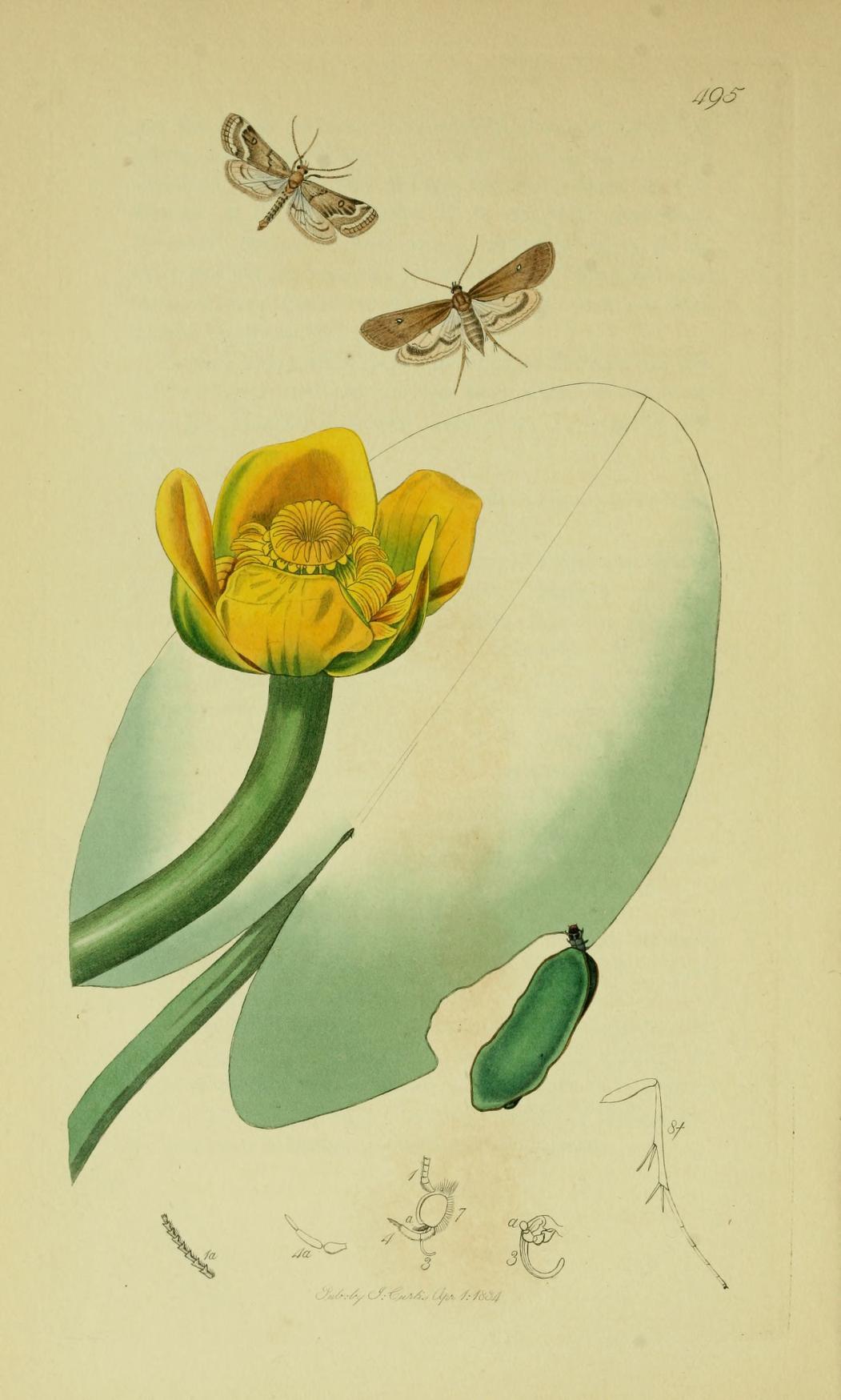 Image of <i>Parapoynx stratiotata</i> Linnaeus 1758