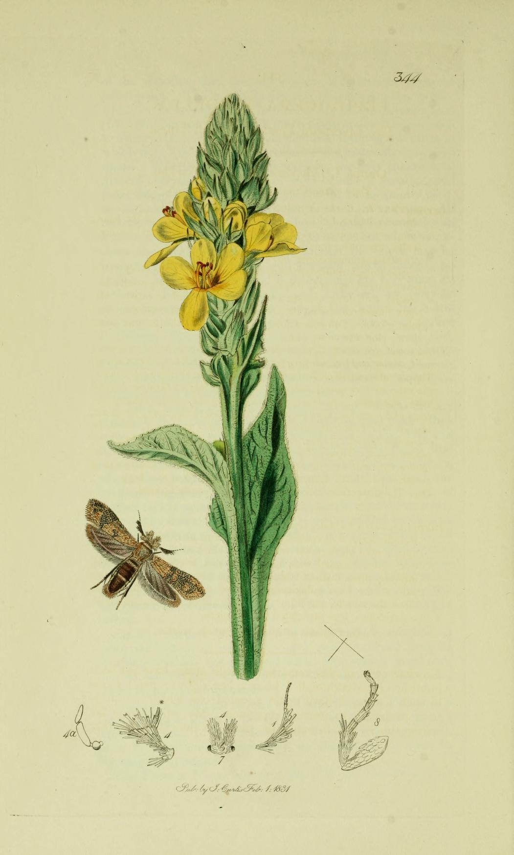 Image of <i>Ochsenheimeria taurella</i> Schiffermüller 1775