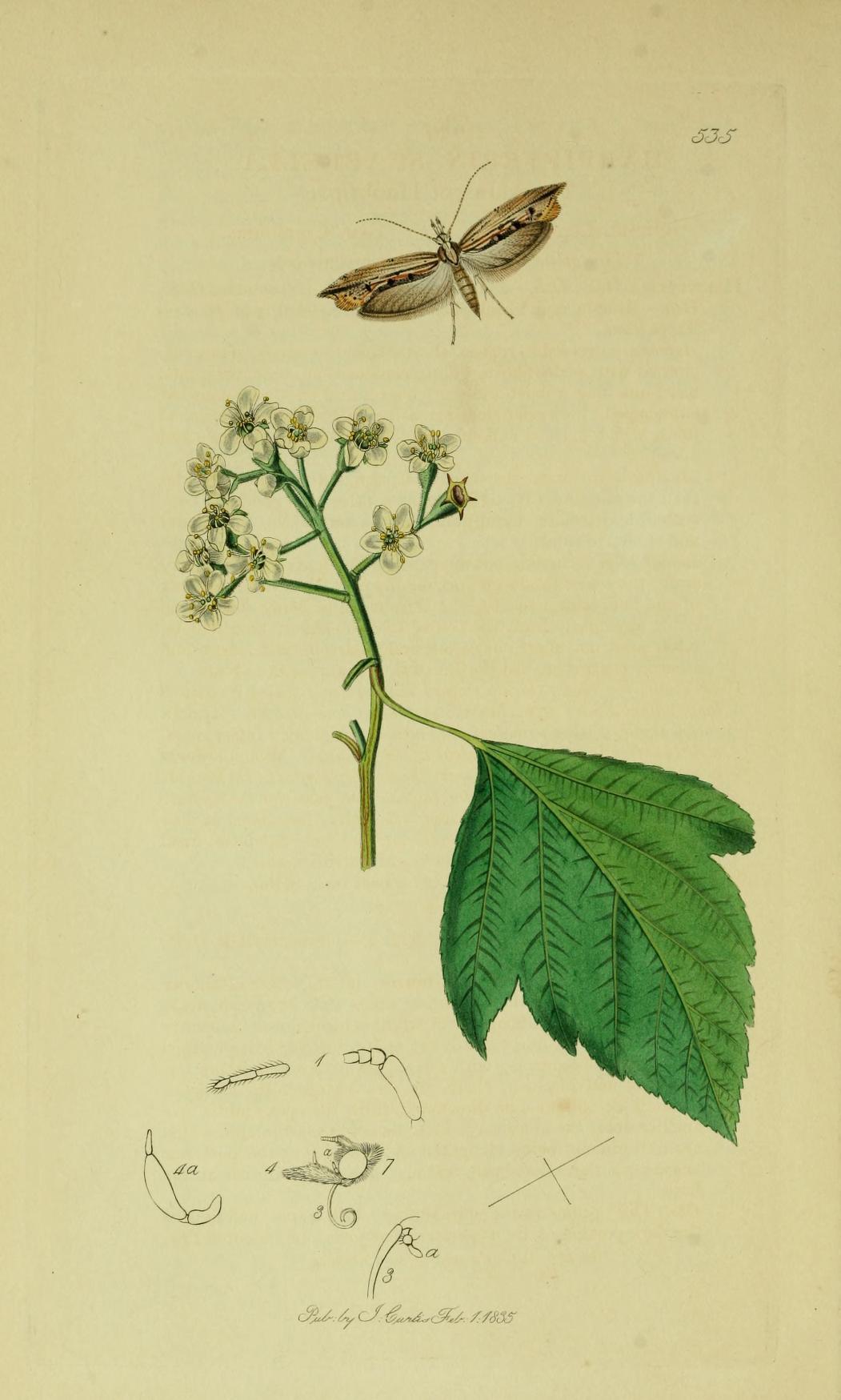 Image of <i>Ypsolopha scabrella</i> (Linnaeus 1761) Linnaeus 1761
