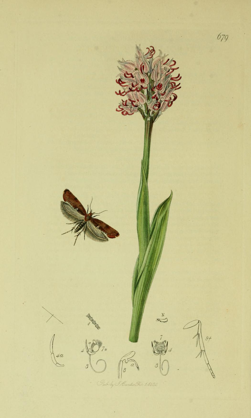 Image of <i>Acrolepiopsis betulella</i>