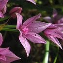 Image of <i>Allium praecox</i> Brandegee