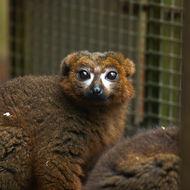 Image of Red-bellied Lemur