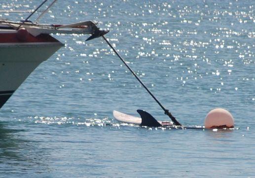Image of Bottlenosed Dolphin