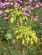 Image of <i>Allium flavum</i> L.