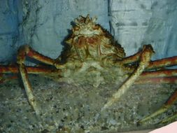 Image of red king crab