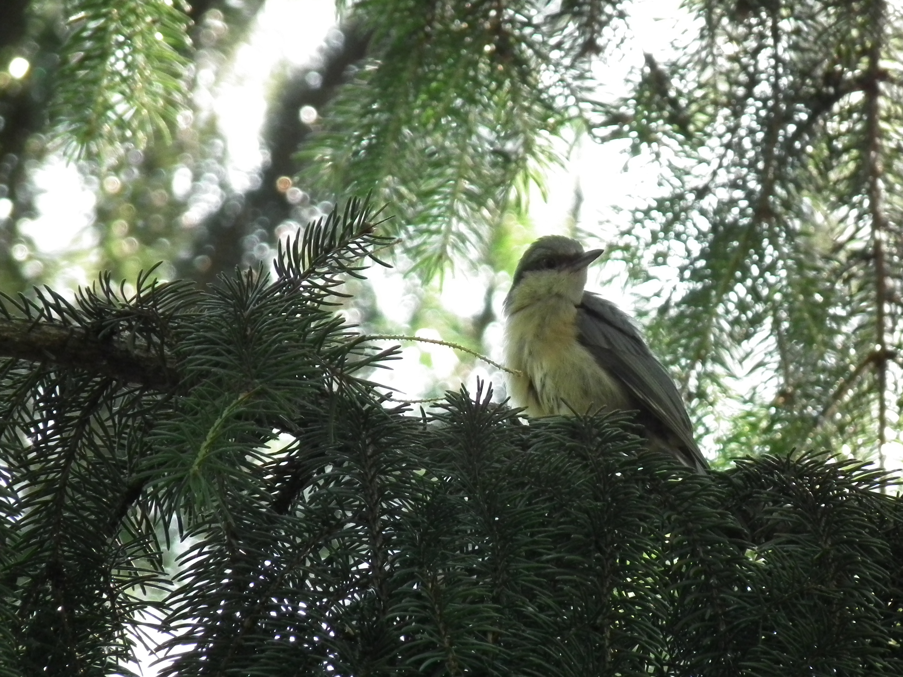 Image of Wood Nuthatch