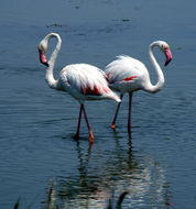 Image of Flamingo