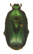 Image of Poecilopharis
