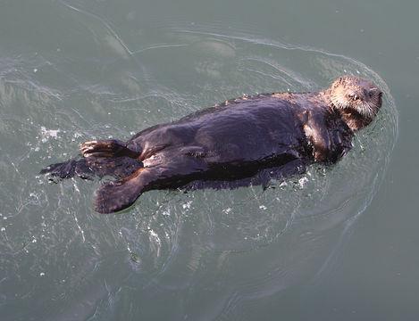 Image of Sea Otter