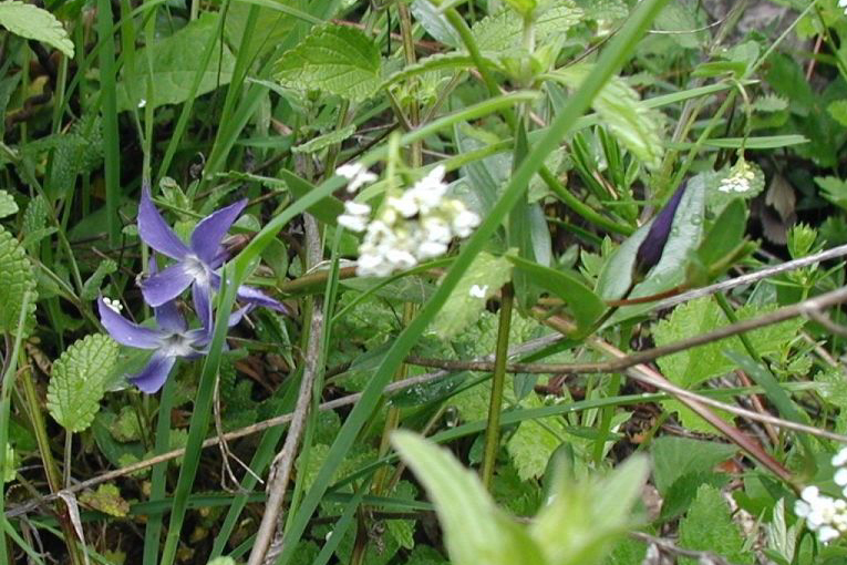 Image of herbaceous periwinkle