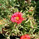 Image of Moss-rose Purslane
