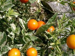 Image of Jerusalem Cherry