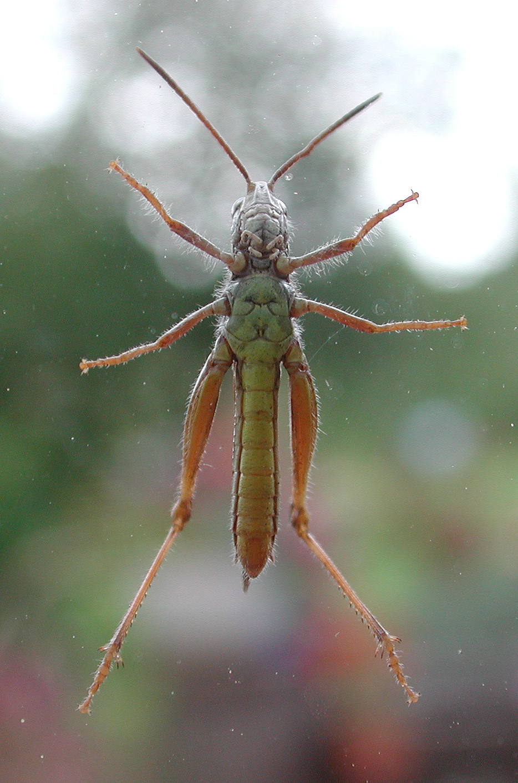 Image of Bow-winged grasshopper