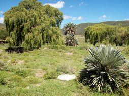 Image of <i>Trithrinax campestris</i> (Burmeist.) Drude & Griseb.