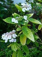 Image of <i>Hydrangea serrata</i>