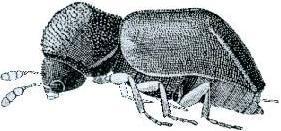 Image of <i>Xylopsocus gibbicollis</i> (Mac Leay 1873)