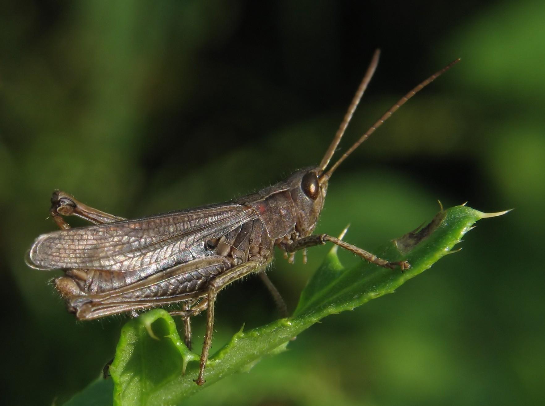 Image of Lesser Marsh Grasshopper