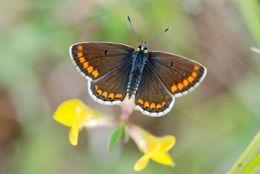 Image of <i>Aricia agestis</i>
