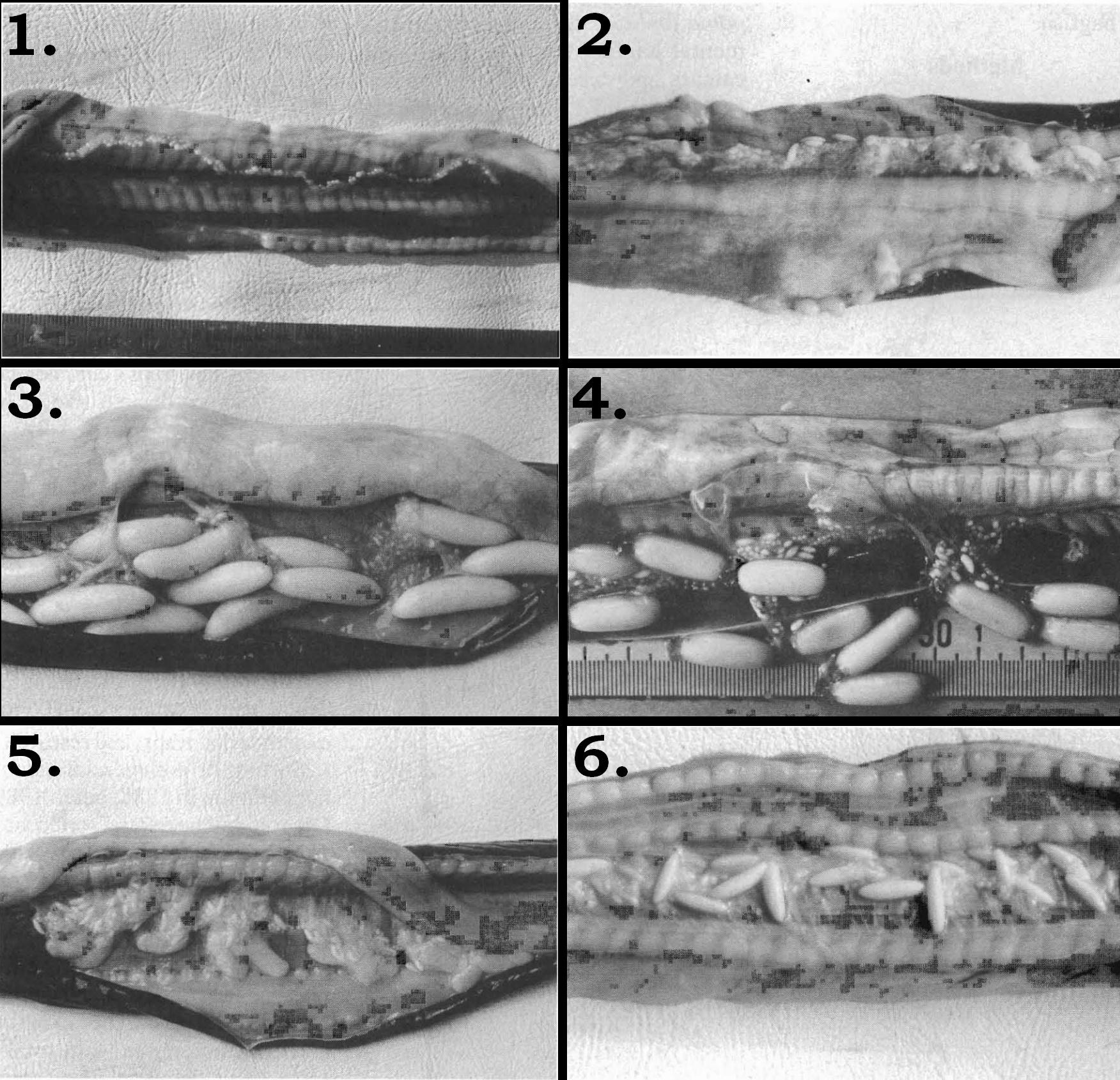 Image of <i>Eptatretus deani</i> (Evermann & Goldsborough 1907)